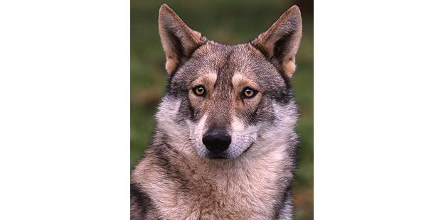 chien-loup-saarloos-Saarloos-Wolfhond-tete
