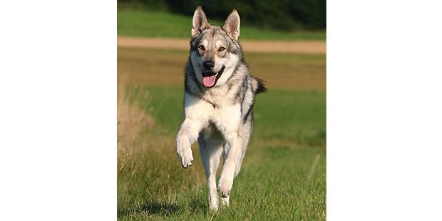 chien-loup-saarloos-Saarloos-Wolfhond-courir