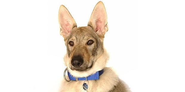 chien-loup-tchecoslovaque-Ceskoslovensky-Vlack-portrait