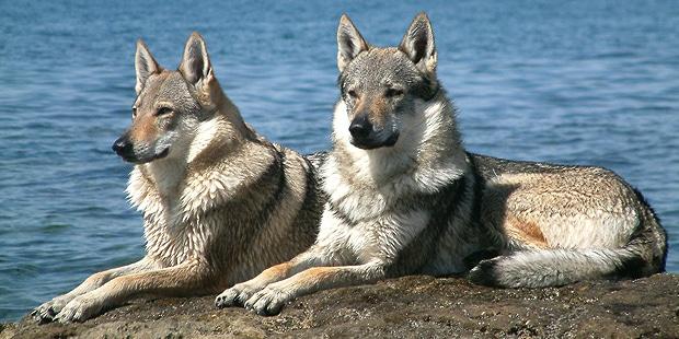chien-loup-tchecoslovaque-Ceskoslovensky-Vlack-mer