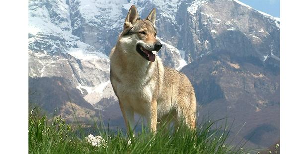 chien-loup-tchecoslovaque-Ceskoslovensky-Vlack-montagne