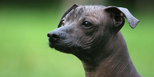 chien-nu-du-mexique-Xoloitzcuintle-portrait