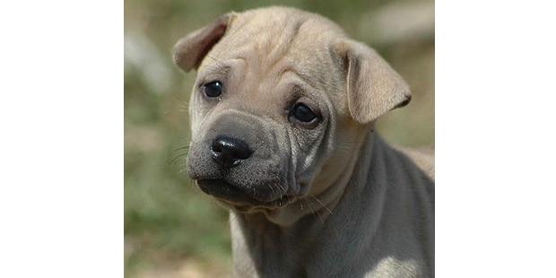 chien-thailandais-crete-dorsale-Thai-Ridgeback-chiot