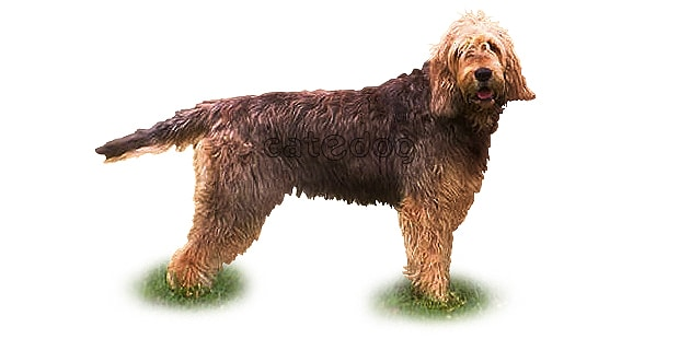 chien-a-loutre-otterhound