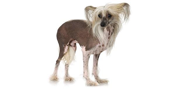 chien-chinois-a-crete