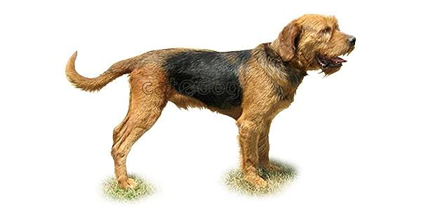 chien-courant-de-bosnie-poil-dur