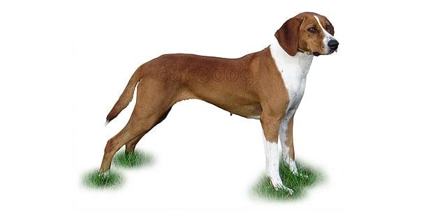 chien-courant-de-hygen-Hygenhund