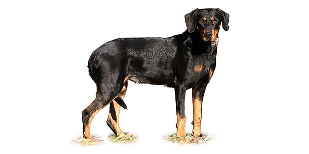 chien-courant-transylvanie-Brachet-Hongrois