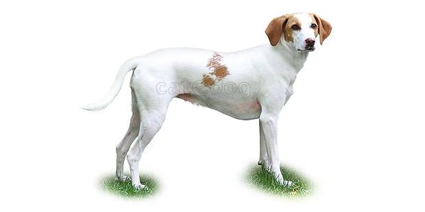 chien-courant-istrie-Istarski Kratkodlaki-Gonic