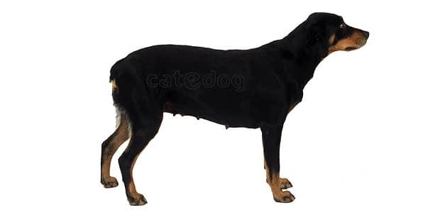 chien-courant-du-smaland-Smalandstovare