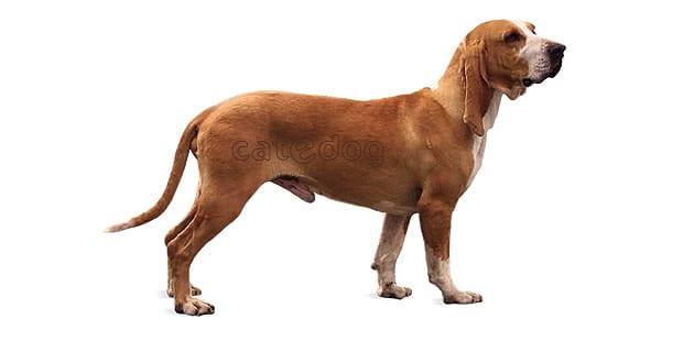chien-courant-espagnol-sabueso-espanol