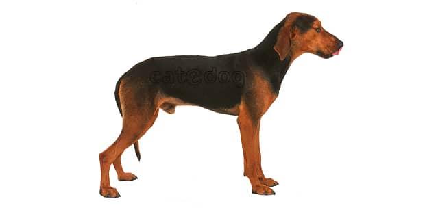 chien-courant-grec-Helliniko-Ichnilatis