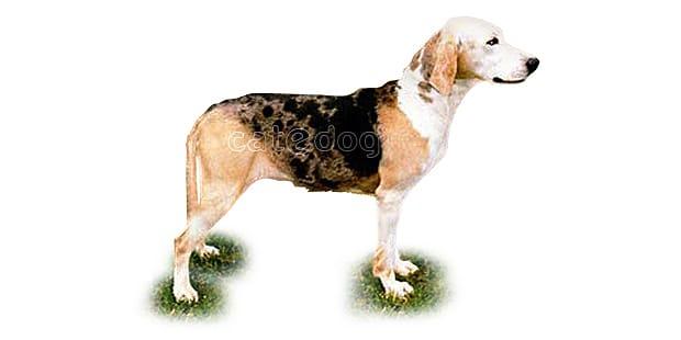 chien-courant-norvegien-dunker-Norvegian-Hound