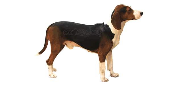 chien-courant-tricolore-serbe