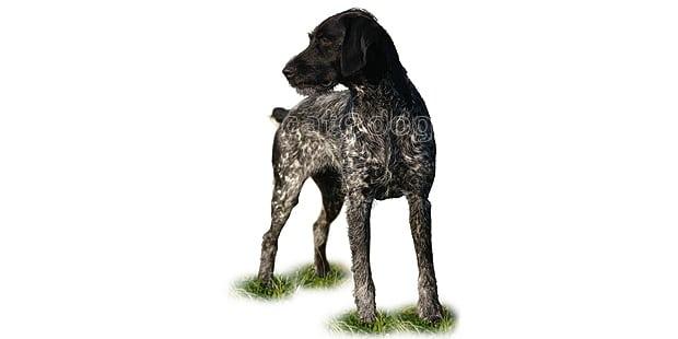 chien-braque-allemand-poil-dur