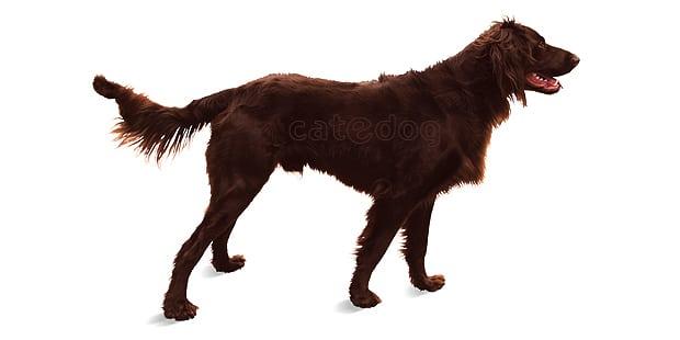 chien-arret-allemand-poil-long