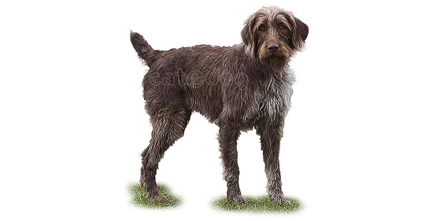 chien-arret-allemand-poil-raide