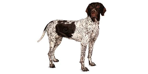 chien-arret-danois-ancestral-braque