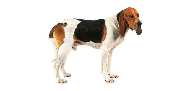 chien-artois