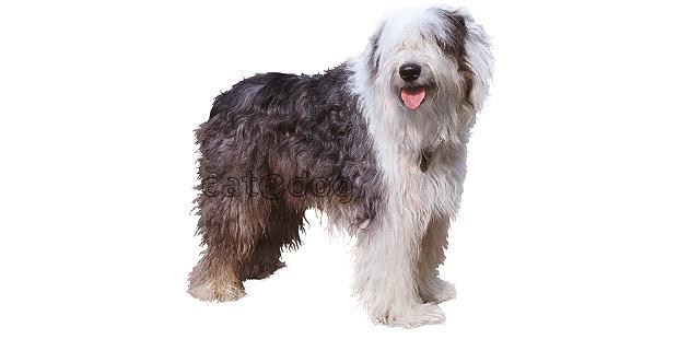 chien-berger-anglais-ancestral-bobtail
