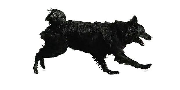 chien-berger-croate-Hrvatski-Ovcar