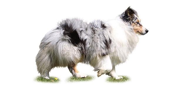 chien-berger-des-shetland-Sheltie