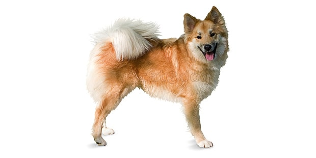 chien-berger-islandais-Islandsk-Farehund