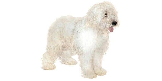 chien-berger-roumain-mioritza-mioritic