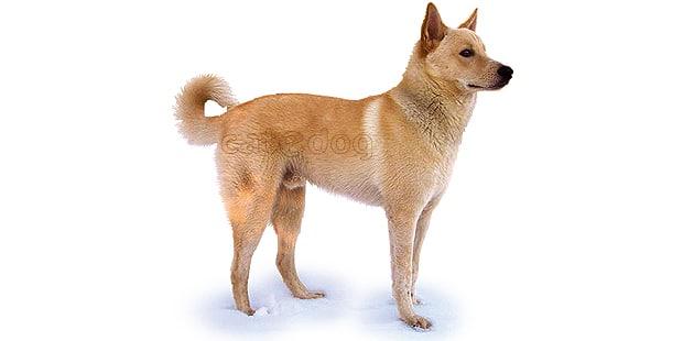 chien-de-canaan-dog