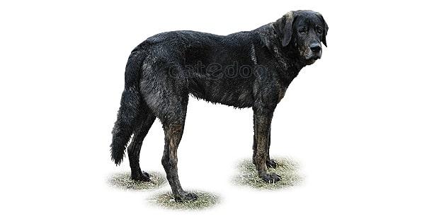 chien-castro-laboreiro-bouvier-portugais