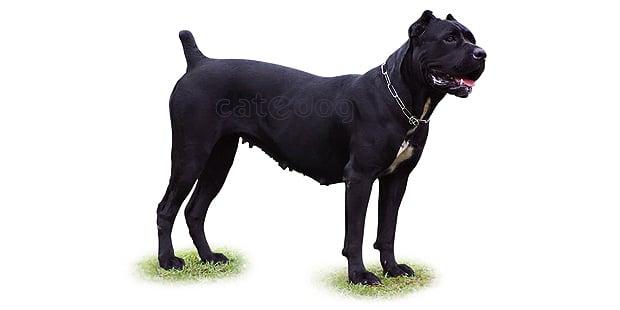 chien-cours-italien-cane-corso
