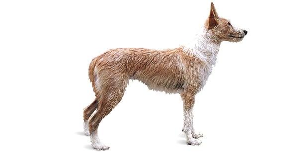 chien-garenne-portugais-podenco-portugais