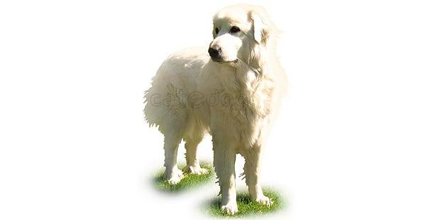 chien-de-montagne-des-pyrennes