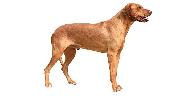 chien-de-rhodesie-a-crete-dorsale-0b