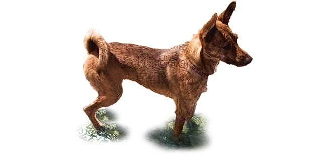 chien-de-taiwan-Taïwan-Dog