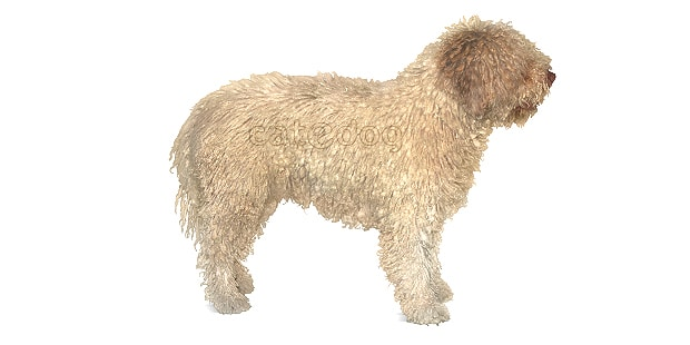 chien-eau-espagnol-perro-agua