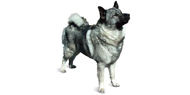chien-elan-norvegien-Elkhound Gris