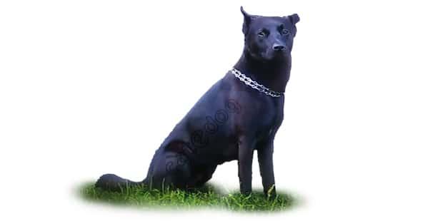 chien-d-elan-norvegien-noir-0b