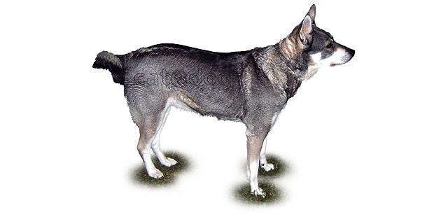 chien-d-elan-suedois-0b