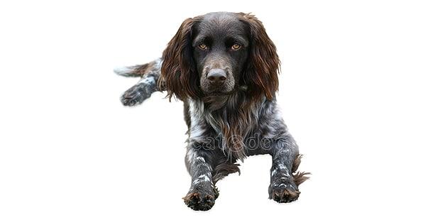 chien-oysel-allemand-Deutscher-Wachtelhund