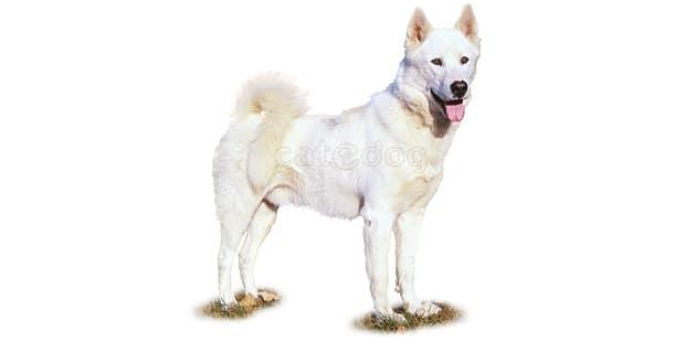 chien-du-groenland-inuit-dog