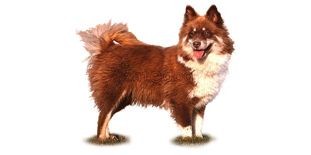 chien-finnois-laponie-Finsk-Lapphund
