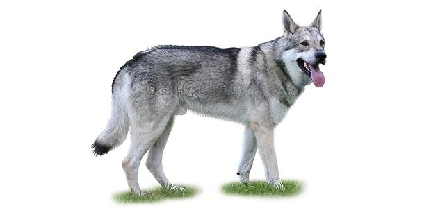 chien-loup-saarloos-Saarloos-Wolfhond