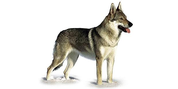 chien-loup-tchecoslovaque-Ceskoslovensky-Vlack