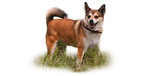 chien-norvegien-de-macareux-Lundehund