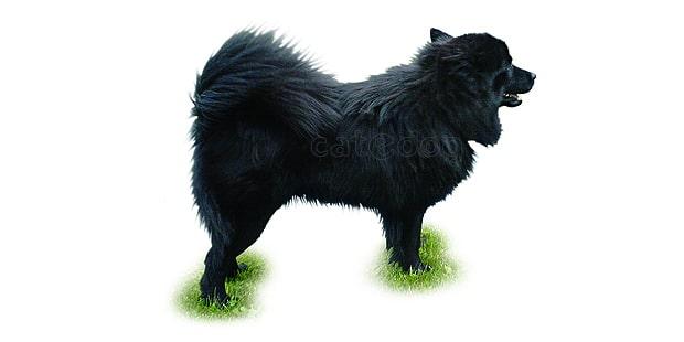 chien-suedois-de-laponie-Lapphund