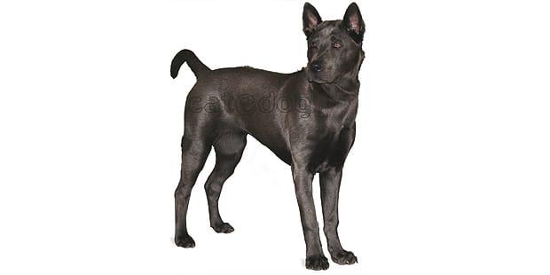 chien-thailandais-crete-dorsale-Thai-Ridgeback