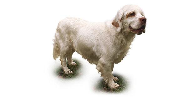 chien-clumber-spaniel