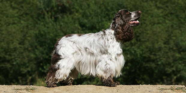 cocker-spaniel-anglais-english-profil