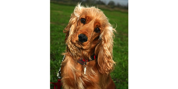 cocker-spaniel-anglais-english-portrait